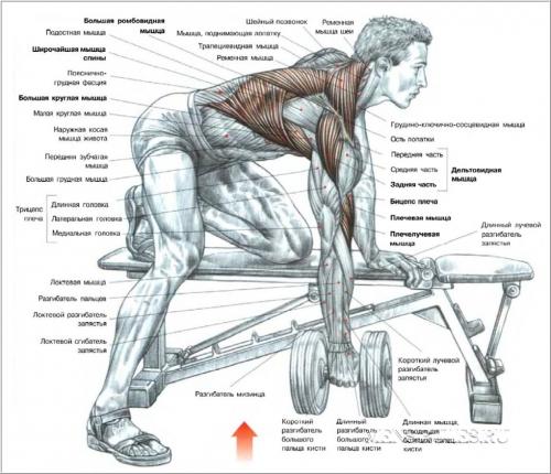 Упражнения с гантелями и скамейкой