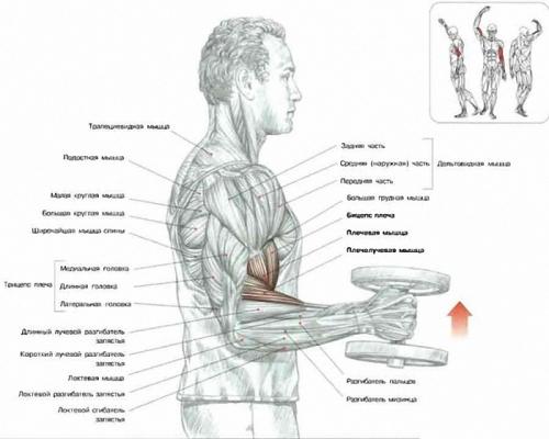 Схема упражнения с гантелей