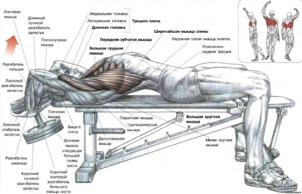 Схема грудных мышц