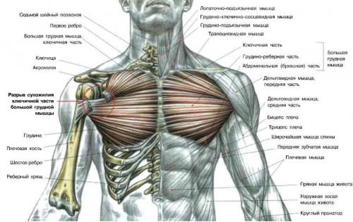Подробная схема мышц груди