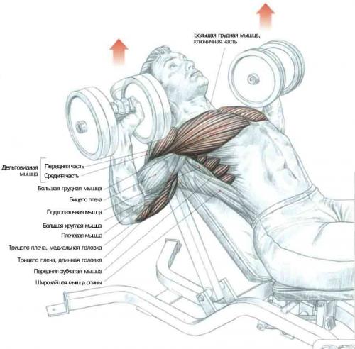 Упражнения на наклонной скамье