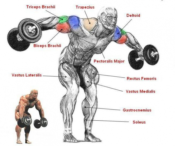 Мышцы во время занятий с гантелями