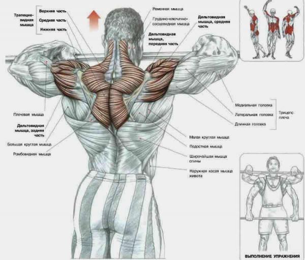 Мышцы плечей при работе