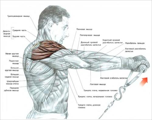 Названия мышц верхней части корпуса